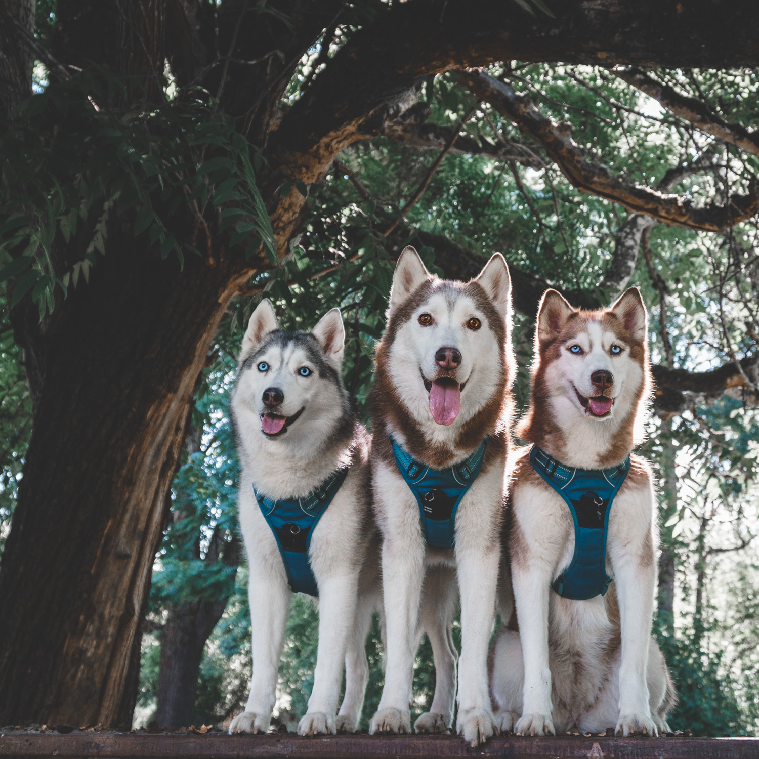 husky squad harness dos